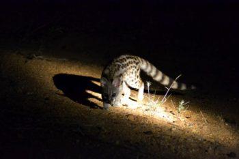 KwaMbili Large Spotted Genet 1