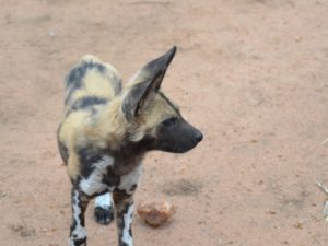 KwaMbili Wild dog