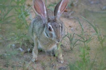 KwaMbili Scrub Hare