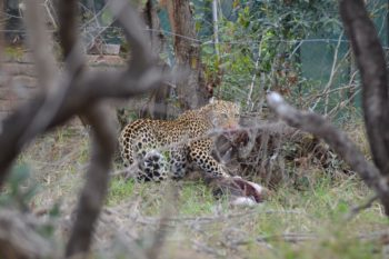 KwaMbil Leopard kill in camp