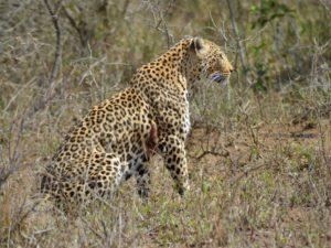 KwaMbili Leopard in camp