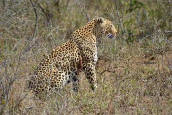 KwaMbili Leopard in camp