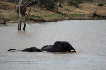 Elephants swimming in Thornybush