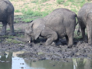 Elephants playing in Thornybush
