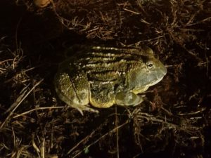 African Giant Bullfrog at KwaMbili
