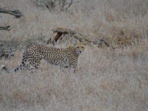 Cheetah at Kruger NP