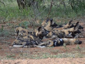 Wild dogs group at KwaMbili Game Lodge