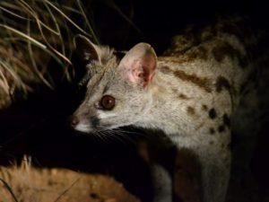 KwaMbili Large Spotted Genet