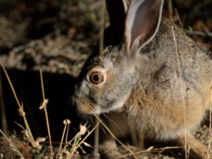 KwaMbili Scrub hare night