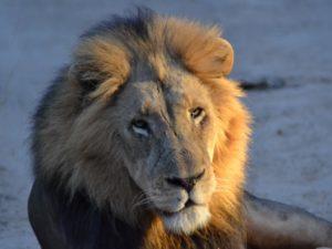 KwaMbili Lion