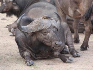 Buffalo and Red billed oxpecker
