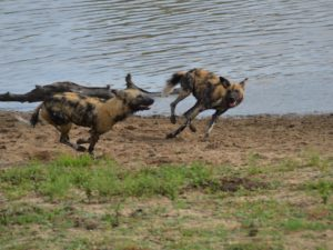 Wild dogs running at KwaMbili