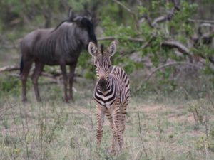 Youngster Zebra at KwaMbili Lodge