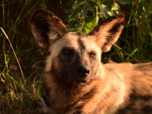 Wild Dog at KwaMbili Game Lodge