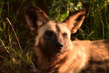 Wild Dog at KwaMbili Game Lodge