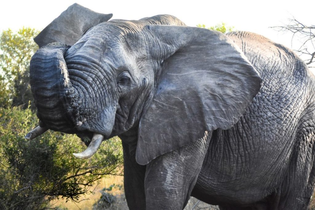 KwaMbili Ranger Report - An elephants built-in water tank