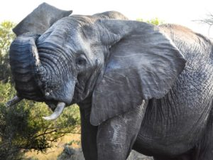 KwaMbili Ranger Report - An elephants built-in water tank